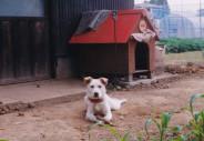 高い材料費をかけて立派な犬小屋を造ってあげたのに使ってくれなかった小春。